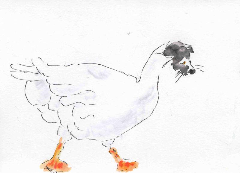 11) oie blanche